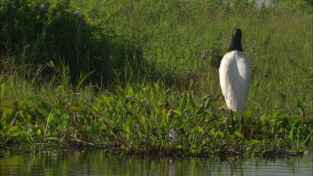 WS ZI MS Jabiru (Jabiru mycteria) foraging at water's edge / Pantanal, Mato Grosso do Sul, Brazil
