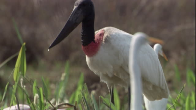 a jabiru stork forages in a marsh. available in hd. - swamp stock videos & royalty-free footage