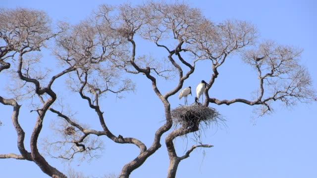 jabiru storks in nest with chicks, pantanal, brazil - young bird stock videos & royalty-free footage