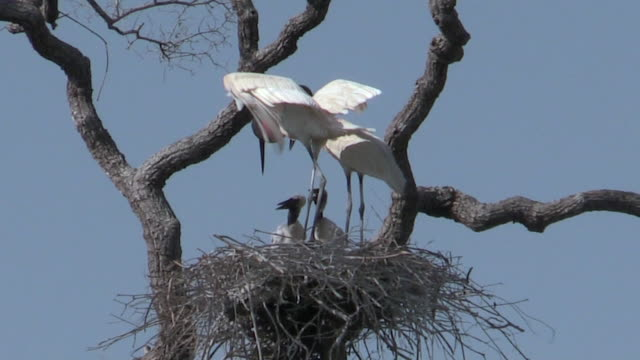 Jabiru storks in nest with chicks, Pantanal, Brazil