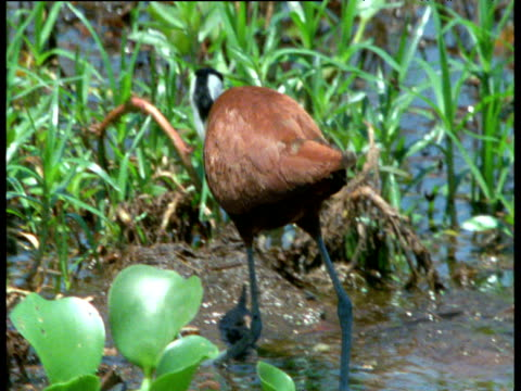 jacana walks over leaves in swamp - zimbabwe stock videos and b-roll footage
