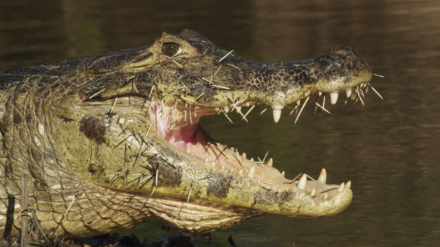 Jacare caiman (Caiman yacare) rests on river bank with face full of porcupine quills.