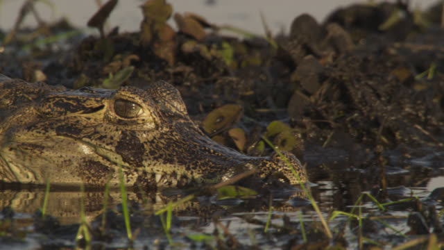 Jacare caiman (Caiman yacare) slides slowly though marshland.