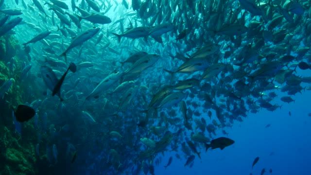 jack fish schooling in coral reef undersea (4k) - jack fish stock videos and b-roll footage