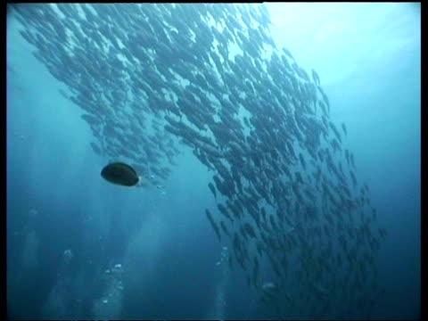 wa jack fish shoal swimming in blue sunlit water, sipadan, borneo, malaysia - jack fish stock videos and b-roll footage