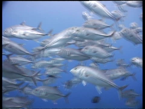 ms jack fish shoal, swimming in blue water, layang layang, malaysia - jack fish stock videos and b-roll footage