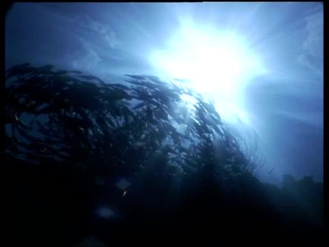 vidéos et rushes de wa jack fish shoal swimming in circle, sunlit water, low angle, sipadan, borneo, malaysia - organisme aquatique