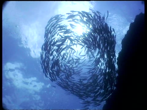 WA Jack Fish shoal swimming in circle with two snorkelers, sunlit water, low angle, Sipadan, Borneo, Malaysia