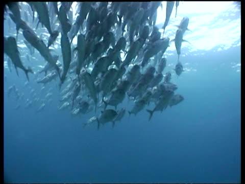 wa jack fish shoal, swimming in shallows, low angle, sipadan, borneo, malaysia - jack fish stock videos and b-roll footage