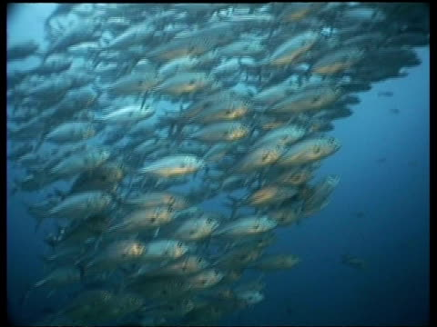 wa jack fish shoal swimming in shallows,  pan left, sipadan, borneo, malaysia - jack fish stock videos and b-roll footage