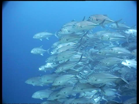 wa jack fish shoal swimming over coral reef, divers in background, sipadan, borneo, malaysia - jack fish stock videos and b-roll footage