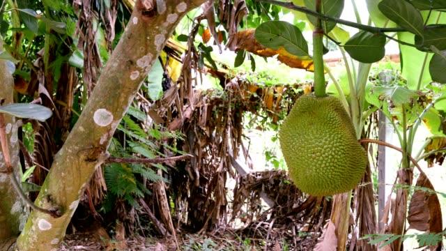 jack fruit on tree ultra hd. - mekong delta stock videos & royalty-free footage