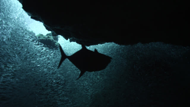 jack hunts tiny bait fish in cave, cayman islands - zoom out stock videos & royalty-free footage