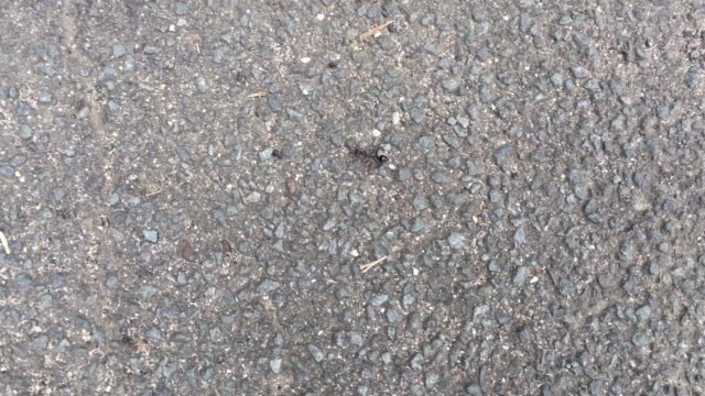 Jack jumper ant insect
