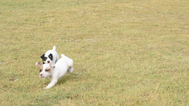 jack russel welpe hund laufen auf gras spielfeld - bucht bay of islands neuseeland stock-videos und b-roll-filmmaterial