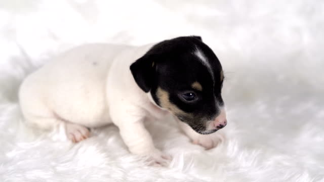 jack russel puppy dog sit on white wool background.puppy dog concept. - jack russel video stock e b–roll