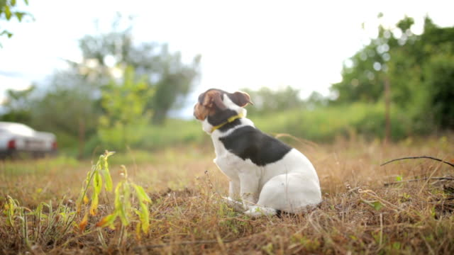 jack russel terrier nell'erba - jack russel video stock e b–roll
