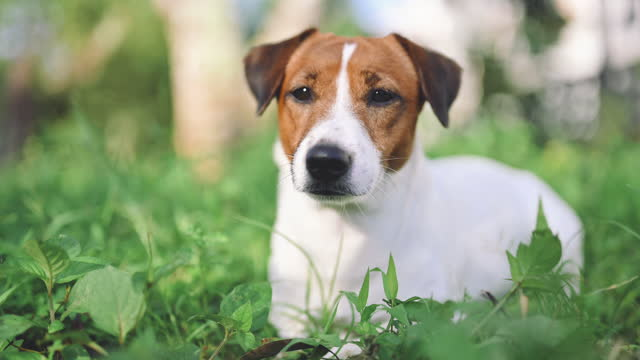 jack russel terrier sul prato vicino a casa. happy dog con sguardo serio - jack russel video stock e b–roll