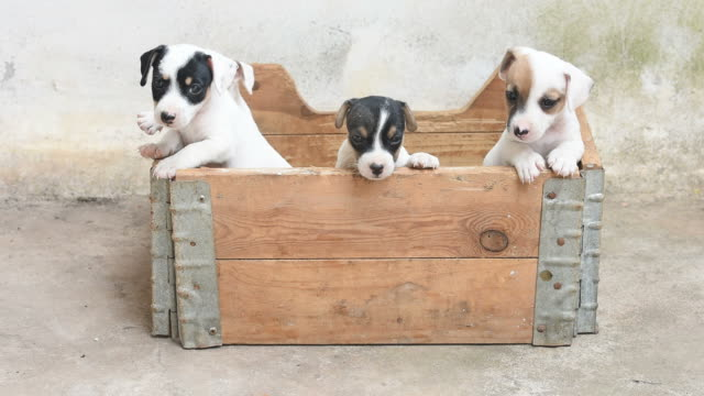 jack russel terrier puppy in basket - young animal stock videos & royalty-free footage