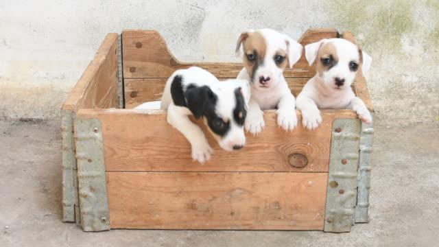 Jack russel terrier puppy in basket