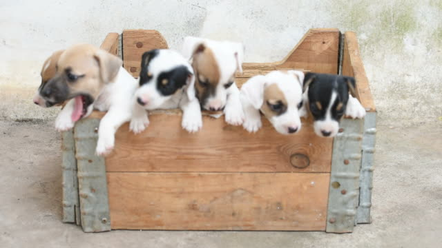 jack russel terrier puppy in basket - puppy stock videos & royalty-free footage