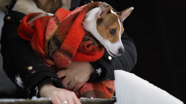 jack russel terrier shivering from cold weather - jack russel video stock e b–roll