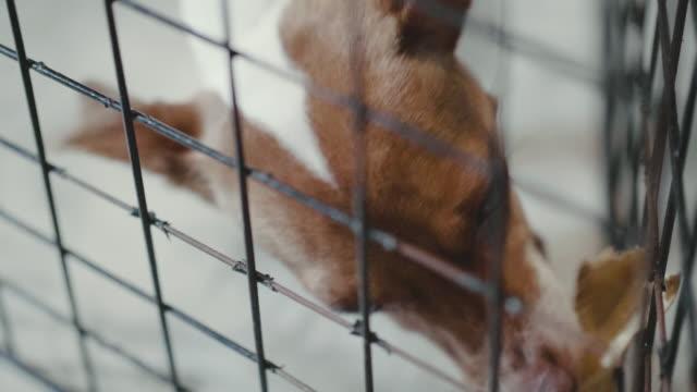 檻の中のジャック ラッセルです。 - 檻点の映像素材/bロール