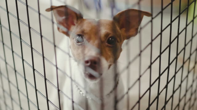 stockvideo's en b-roll-footage met jack russell in een kooi. - krat