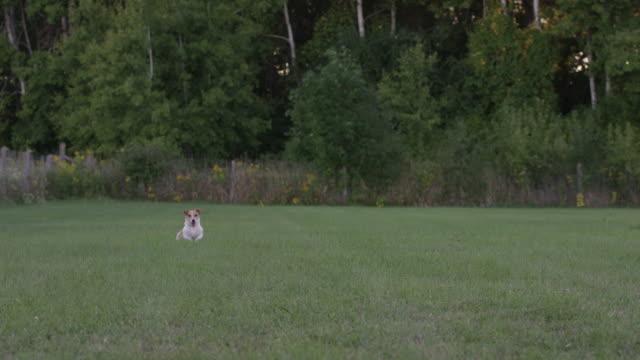vídeos de stock, filmes e b-roll de jack russell executando - terrier