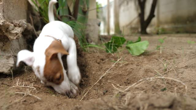 jack russell terrier digging soil - digging stock videos & royalty-free footage