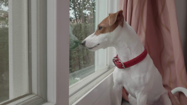 jack russell terrier dog barking dog something wrong - bark stock videos & royalty-free footage
