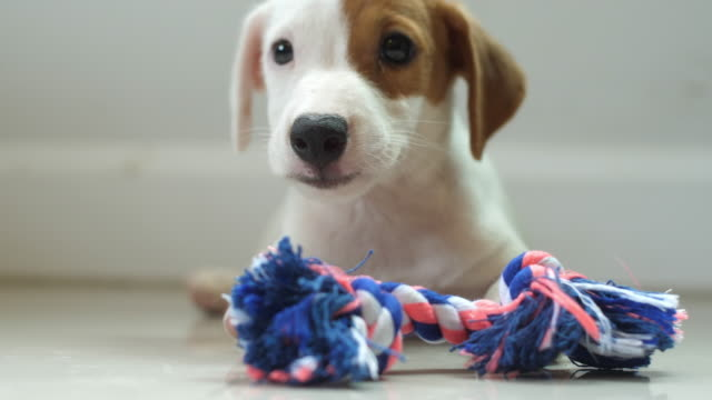 panni per cani jack russell terrier - jack russel video stock e b–roll