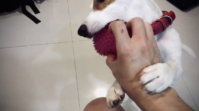 jack russell terrier dog bit toy - jack russel video stock e b–roll