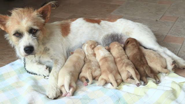 jack russell terrier cane allattando il suo cucciolo - gruppo medio di animali video stock e b–roll