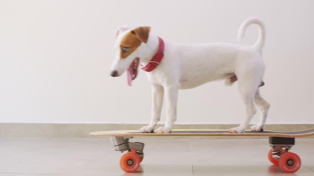 vidéos et rushes de jack russell terrier chien sur planche de surfskate et drôle de sa planche - agilité