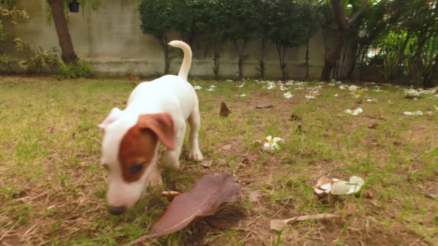 jack russell terrier dog run and happy - jack russel video stock e b–roll