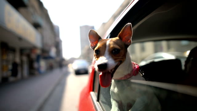 jack russell terrier in a traffic jam - automobile video stock e b–roll