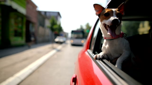 jack russell terrier in a traffic jam - window stock videos & royalty-free footage
