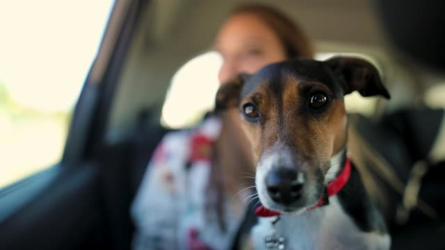 jack russell terrier in car - pet owner stock videos & royalty-free footage
