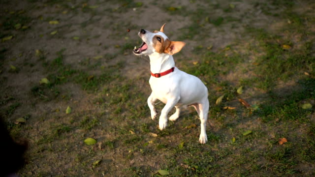 slomo ha jack russell terrier jump and catch treat mid-air - hungry stock videos & royalty-free footage