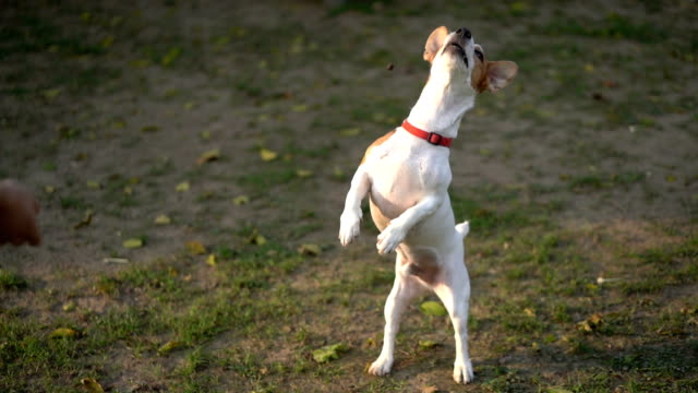 slomo ha jack russell terrier jump and fail on catch treat mid-air - mistake stock videos & royalty-free footage