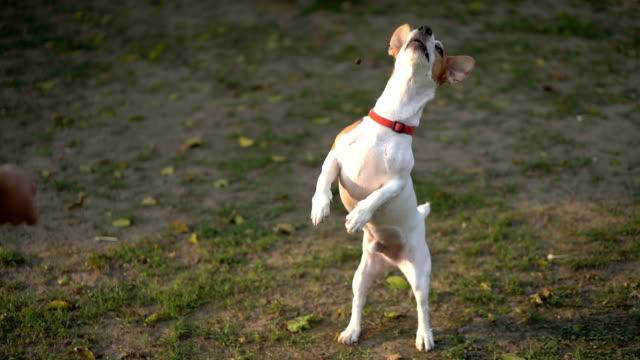 vidéos et rushes de slomo ha jack russell terrier saut et échouer sur la capture de traiter dans les airs - terrier jack russell