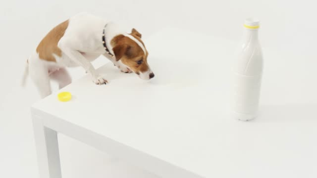 jack russell terrier licking spilled milk on table - spilled milk stock videos & royalty-free footage