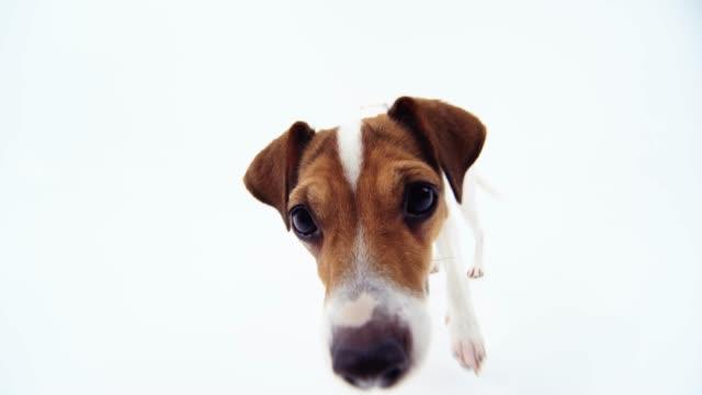 vidéos et rushes de jack russell terrier en regardant la caméra fisheye - terrier jack russell