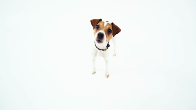 jack russell terrier looking at the fisheye camera - jack russell terrier stock videos & royalty-free footage