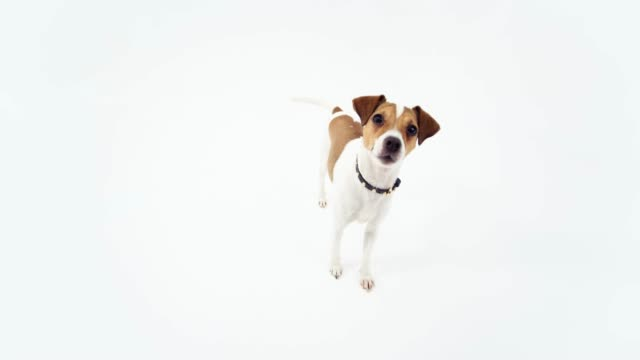jack russell terrier looking at the fisheye camera - fish eye lens stock videos & royalty-free footage