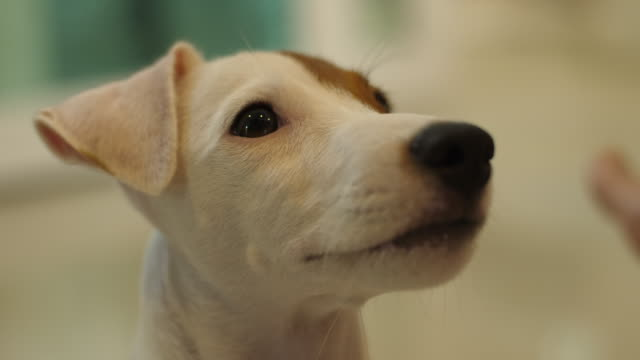 jack russell terrier dall'aspetto qualcosa - jack russel video stock e b–roll