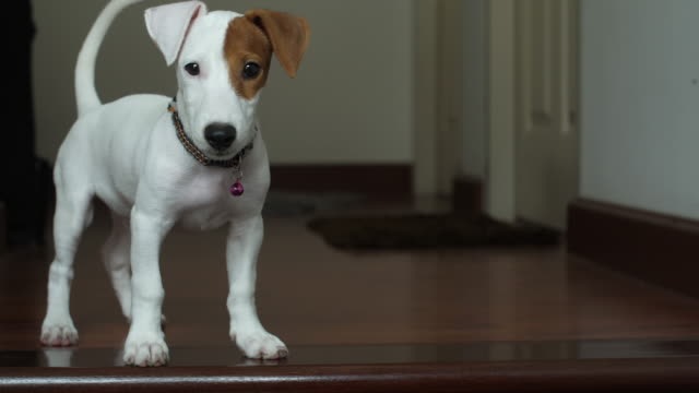 jack russell terrier looking something - jack russel video stock e b–roll