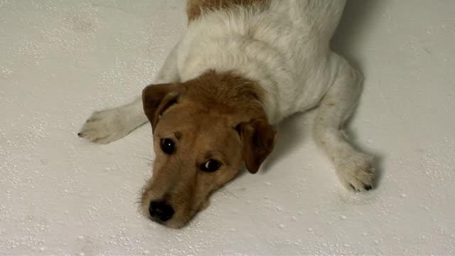 vídeos y material grabado en eventos de stock de ha ms zi cu jack russell terrier lying on floor / boston, massachusetts, usa - terrier
