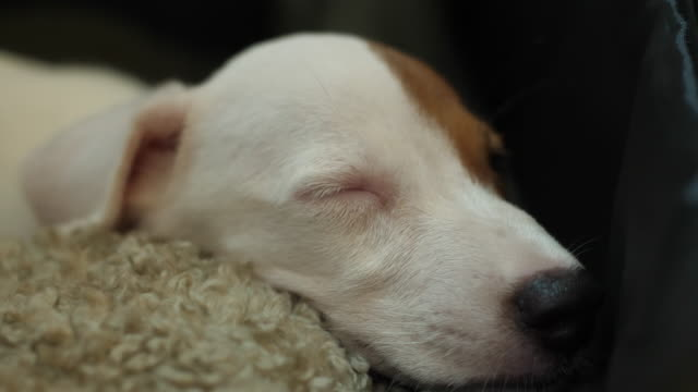 jack russell terrier dorme - jack russel video stock e b–roll
